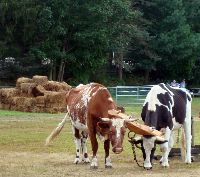 Yoked oxen.