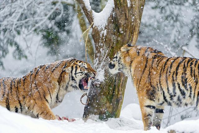 Arguing Tigers